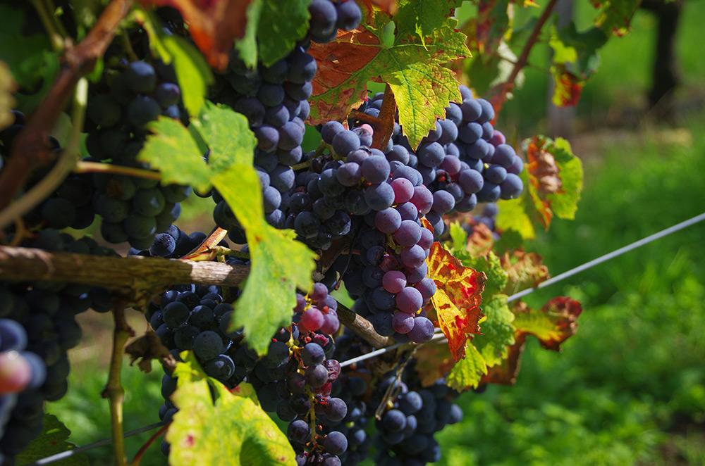 La vigne matûre
